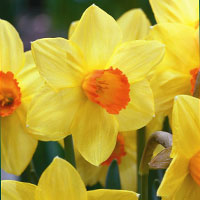 Plant daffodil bulbs for a stunning display in spring