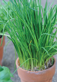 Sow chives now for growing on your windowsill