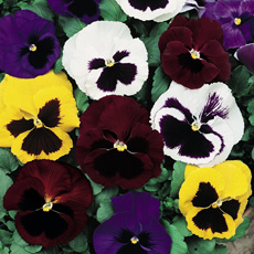 Winter-flowering pansy seeds to sow in August