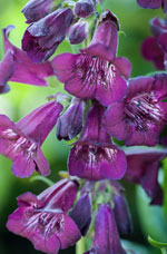 Cut back Penstemon to encourage flowers