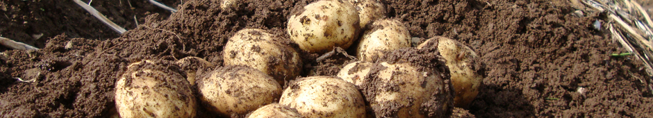 how to grow potatoes in the ground