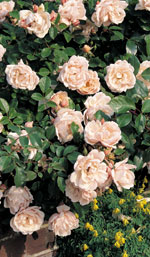 Tie in climbing and rambling roses
