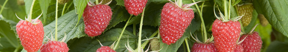 how to grow raspberries guide