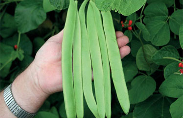 Runner Bean range