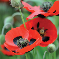 direct sow annual poppies which will flower earlier next year