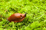 Keep an eye out for slugs as the weather warms