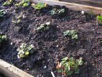 Plant out strawberry beds and cloche for an earlier crop
