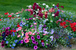 Plant out summer bedding plants