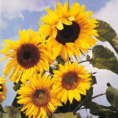 Sow Sunflower Seeds now