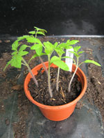 Sow tomato seeds for an early crop