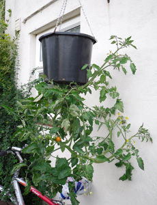 Growing tomato plants upside down is a great space saving solution