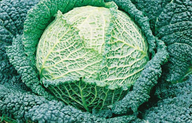 Winter Cabbage range