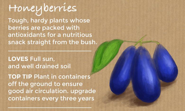 top ten easy to grow fruit - Honeyberries