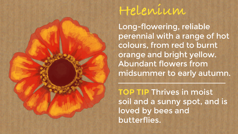 Top 10 perennial plants thompson morgan also known as helens flower heleniums are long flowering reliable perennial plants with a range of hot colours from red to burnt orange and bright mightylinksfo