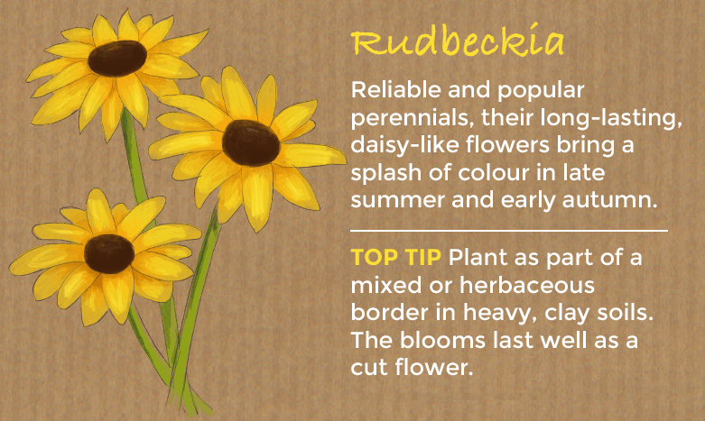 rudbeckia are reliable and popular perennials valued for their long lasting splash of colour in late summer and early autumn sunny yellow red or orange