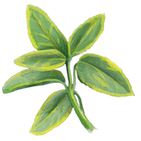 Top 10 Evergreen Shrubs Thompson Morgan