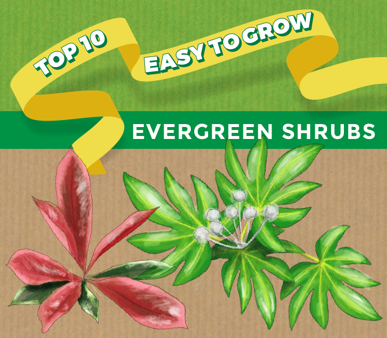 Top 10 Evergreen Shrubs Thompson Morgan