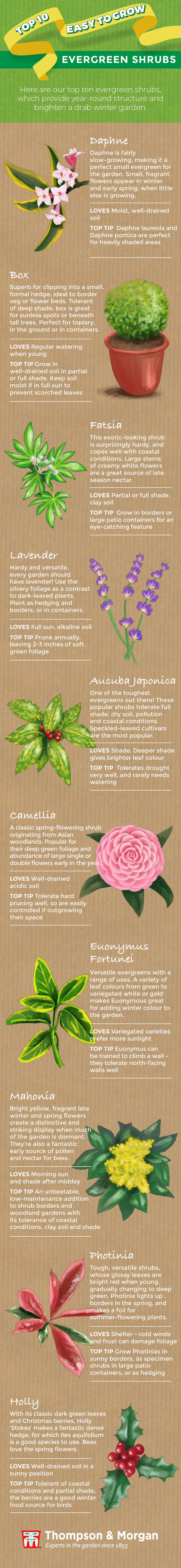top ten evergreen shrubs infographic from thompson & morgan