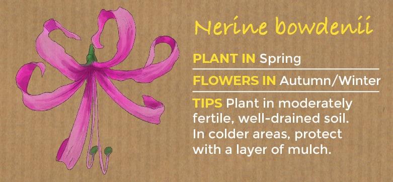Nerine bowdenii