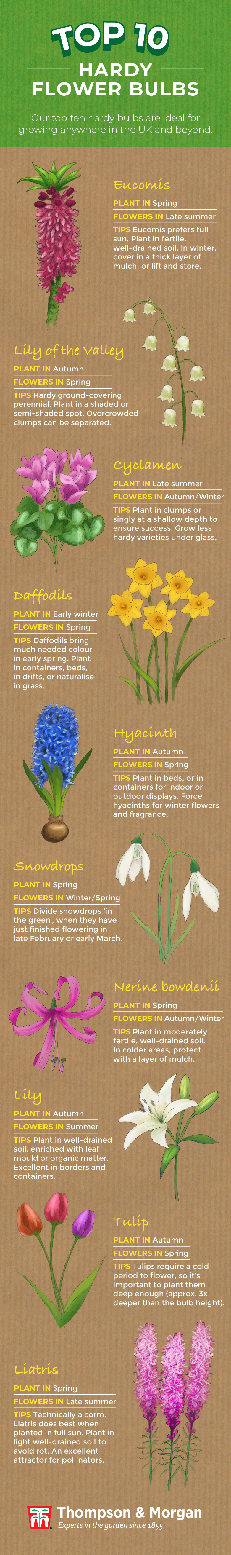 top ten hardy flower bulbs infographic from thompson & morgan