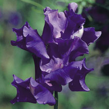 Sweet Pea 'King Size Navy Blue'