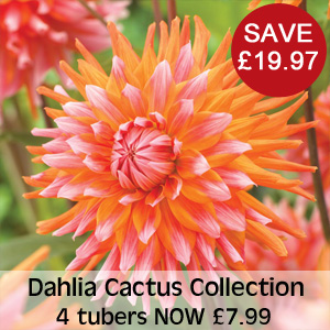 View Dahlia Cactus Collection
