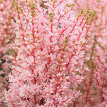 Astilbe x arendsii 'Look at Me'