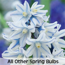 Other Spring Flowering Bulbs