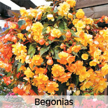 Begonias for Hanging Baskets