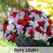 Busy Lizzies for Hanging Baskets