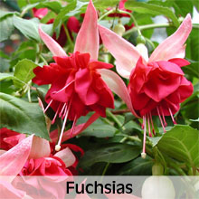 Fuchsias for Hanging Baskets