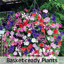Garden Ready Hanging Basket Plants