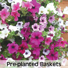 Pre-planted Hanging Baskets