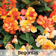 Bedding Plants Begonias