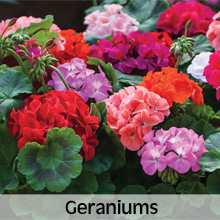 Bedding Plants Geraniums