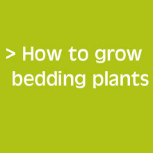 Handy Tips - How To Grow Bedding Plants