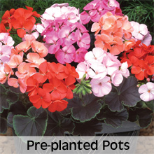 Bedding Plants Pre-planted Hanging Baskets and Containers