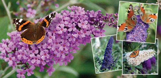 patio buddleja buzz collection