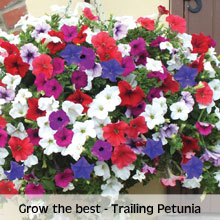 Petunia 'Surfinia Mixed'