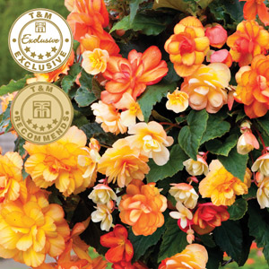 begonia f1 apricot shades improved