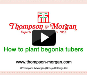 how to plant begonia tubers