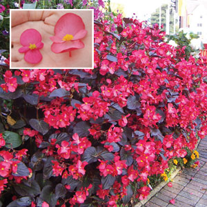 begonia whopper mixed