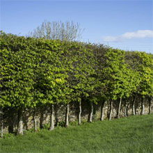 Bare Root Hedging Varieties