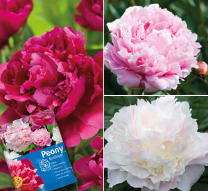 Peony Collection - 3 varieties plus fertiliser just £9.99