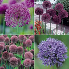 Allium Collection - 100 bulbs just £14.99