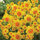 Narcissus 'Happy Faces' - 20 bulbs just £13.99
