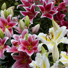 Lily 'Romance' - 4 colourful patio pots and 12 bulbs for just £19.99