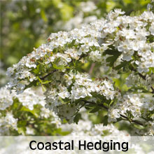 Hedging Plants Suitable for Coastal Gardening
