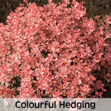 Different coloured hedges and plants for winter or autumn interest