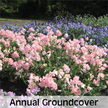 Cottage Garden Annual Ground Cover Plants